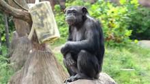 Large Monkey Sitting And Looki...