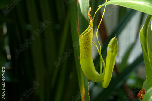 Cuadros en Lienzo  Nepenthes carnivorous plant close up