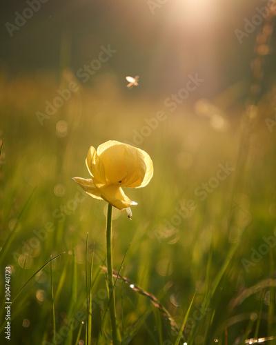 zolty-stokrotka-kwiat-w-wil