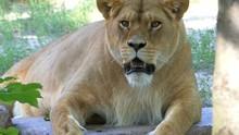 A Big Female Lion Licks Its Ma...