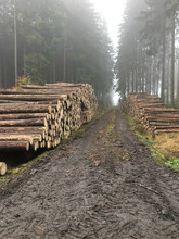 Harvested Wood In The Forest In The Czech Republic After The Forest Was Hit By A Bark Beetle