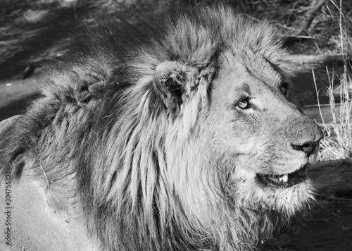 Resting lion Madikwe, SA