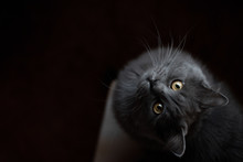 Cute Fluffy Gray Cat With Yell...