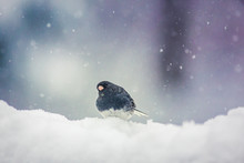 Dark-eyed Junco Gray American Sparrow Bird In Snow Storm