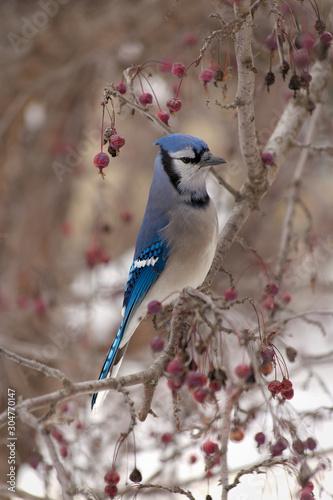 Canvas-taulu Blue bird on a branch