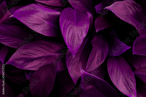closeup nature view of purple leaf in garden, dark wallpaper concept, nature background, tropical leaf #304771723