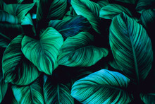 Leaves Of Spathiphyllum Cannif...