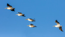 Pelicans Flying In A Clear Blu...