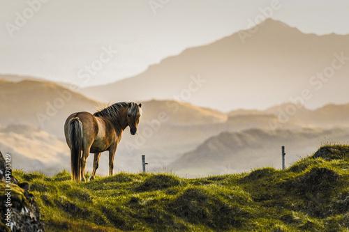 Naklejki konie   kon-islandzki