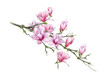 Tender pink magnolia big branch with flowers watercolor illustration. Hand drawn lush spring blossom with green buds on a tree. Magnolia tree element isolated on the white background.