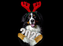 Bernese Mountain Dog With Reindeer Antler Headband Costume For Christmas / New Year On Head, Big Dog With Deer Horns And 2020 3d Year In A Paws, Greetings Card On Black Background