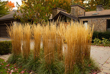 Feather Reed Grass, Outdoor Decorative Plant. Dry Grass At The Fancy House Front Yard.Autumn Plants.