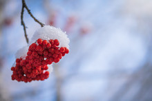 Red Berries Of Mountain Ash Un...