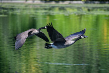 A Pair Of Canadian Geese Comin...