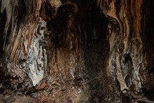 Closeup View Inside A Hollow Of Plane Tree. Background.