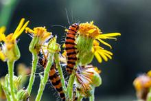 Cinnabar Moth Caterpillar Eating Flower In Garden Uk