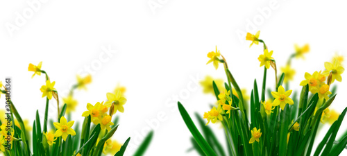Yellow daffodil flowers Poster Mural XXL