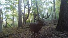 Monster Buck Deer Early Mornin...