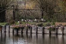 Canada Geese Heading For Pond