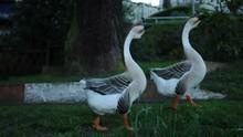Walking Ducks In Grassland Wit...