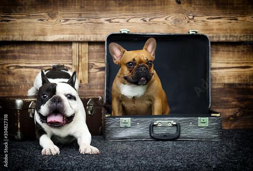 Spoed Fotobehang Franse bulldog dog breed french bulldog together