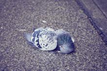 Pigeon Mort Tombé Sur Le Sol .