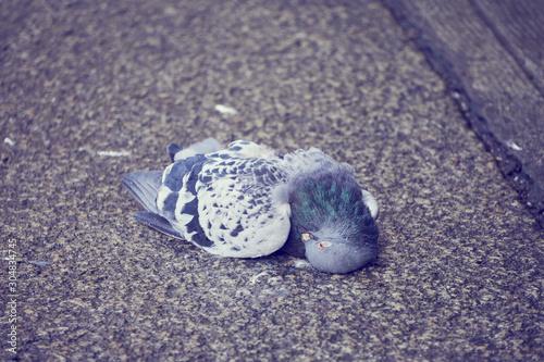 Pigeon mort tombé sur le sol . Canvas Print