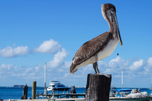 Pelican Close-up. Rescue Of Th...