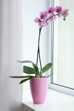 Beautiful Pink Phalaenopsis Or...