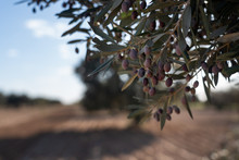 Tunisian Olive Tree In North Africa