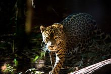 Beautiful Leopard Walking Through The Jungle