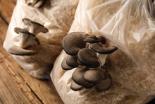 Oyster Mushrooms Growing In Sa...