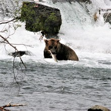 Grizzly Bear With A Salmon