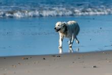 White Labrador Dog Has Big Smi...