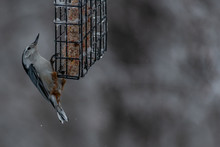 White Breasted Nuthatch On A S...