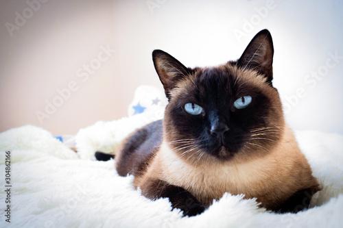 Cuadros en Lienzo Portrait of a Siamese cat on a sofa at home