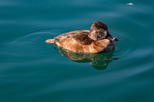 Ring Necked Duck Female
