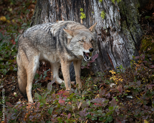 Photo Coyote in Fall colors in Montana, USA