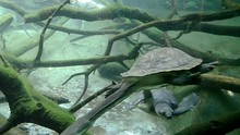 Snake-necked Turtle Swimming U...