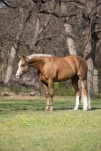 Palomino Horse Conformatiion