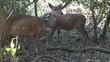 Bushbuck Doe Adult Eating Pair Hluhluwe-Imfolozi Park