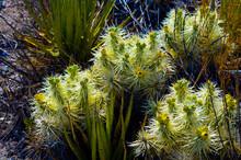 Strange Desert Plants Named Ca...