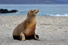 Mommy Sea Lion -Galapagos