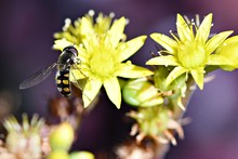 A Hover Fly With Outstretched Wings Settles Briefly On A Yellow Flower In A Wonthaggi Garden On The Bass Coast, In Gippsland, Victoria, Australia