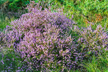A Purple Common Heather Plant Growing Outdoors.