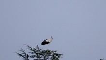 White Stork Ciconia Ciconia St...