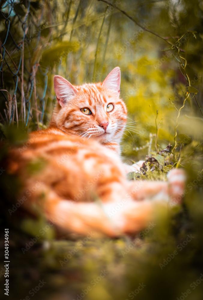 Fototapeta Paciente felino