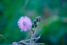 Sensitive Plant Mimosa Pudica,...