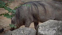 Warthogs Grazing In Zoo Exibit