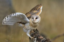 Magnificent Barn Owl Perched O...